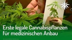 Erste legale Cannabispflanzen für medizinischen Anbau | DHV-News #270