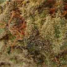 Sauberes Marihuana, Foto by Hanfburg